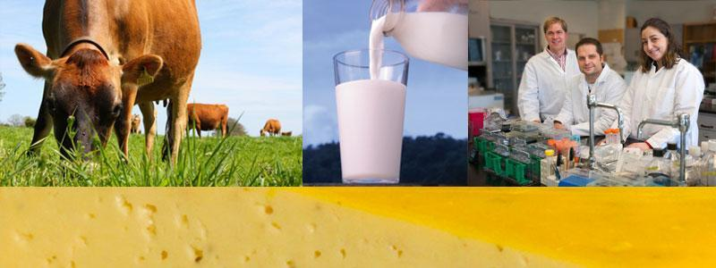Photo collage of cow, glass of milk, dairy researchers, and cheese.